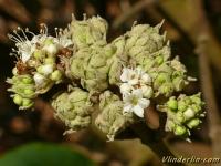 Viburnum rhytidophyllum Viorne ridée Sneeuwbal