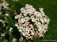Viburnum tinus Viorne tin Sneeuwbal