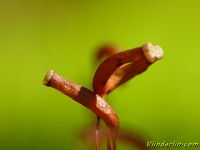 Atrichum undulatum Atrichum undulatum Groot rimpelmos