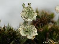 Cladonia chlorophaea Cladonia chlorophaea Fijn bekermos