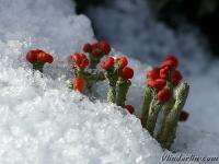 Cladonia floerkeana Cladonia floerkeana Rode heidelucifer