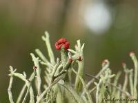 Cladonia macilenta Cladonia macilenta Dove heidelucifer