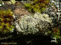 Lecanora chlarotera Lecanora chlarotera Witte schotelkorst