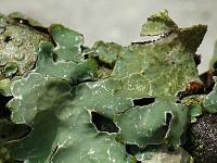 Parmelia sulcata Parmélie striée  Gewoon schildmos