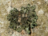 Pleurosticta acetabulum Pleurosticta acetabulum Olijf schildmos