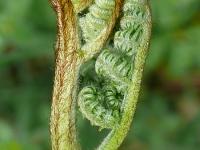 Pteridium aquilinum Grande fougère Adelaarsvaren