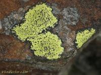 Rhizocarpon geographicum Rhizocarpon geographicum Gewoon landkaartmos