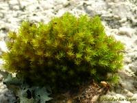 Syntrichia ruralis var. arenicola Syntrichia ruralis var. arenicola Groot duinsterretje