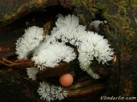 Ceratiomyxa fruticulosa Buisson cireux Gewoon ijsvingertje