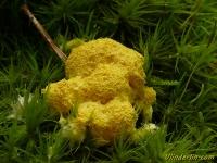 Fuligo septica Fleur de tan Heksenboter