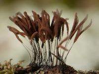 Stemonitis fusca Stémonite brun foncé Gebundeld netpluimpje