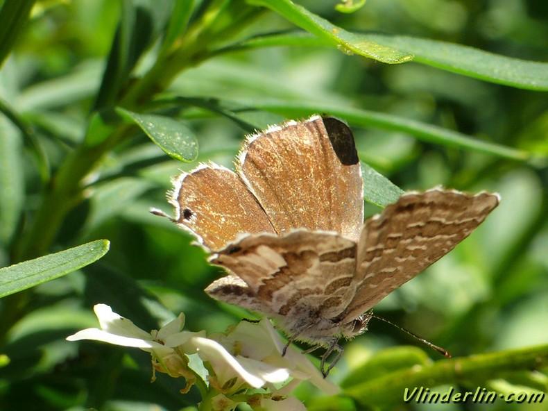 papillons de jour vlinderlin