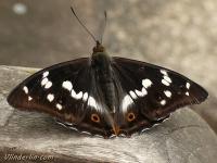 Apatura iris feminine Le Grand mars changeant femelle Grote weerschijnvlinder vrouwtje