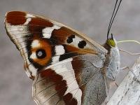 Apatura iris masculine Le Grand mars changeant mâle Grote weerschijnvlinder mannetje