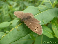 Aphantopus hyperantus feminine Le Tristan femelle Koevinkje vrouwtje