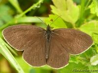 Aphantopus hyperantus masculine Le Tristan mâle Koevinkje mannetje