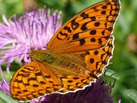 Argynnis adippe masculine Le Moyen nacré mâle Bosrandparelmoervlinder mannetje