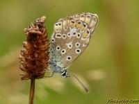 Aricia agestis L'Argus brun Bruin blauwtje