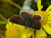 Aricia agestis feminine L'Argus brun femelle Bruin blauwtje vrouwtje