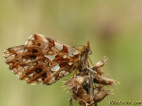 Boloria dia La Petite violette Paarse parelmoervlinder