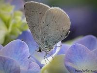 Celastrina argiolus L'Azuré des nerpruns Boomblauwtje