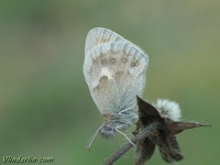 Coenonympha pamphilus Le Procris Hooibeestje