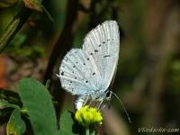 Cupido alcetas feminine L'Azuré du trèfle femelle Zuidelijk staartblauwtje vrouwtje