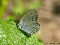 Cupido minimus L'Argus Dwergblauwtje