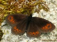 Erebia meolans Le Moiré des fétuques femelle Donkere erebia vrouwtje