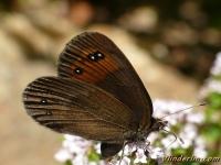 Erebia meolans Le Moiré des fétuques mâle Donkere erebia mannetje