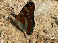 Limenitis populi Le Grand sylvain Grote ijsvogelvlinder