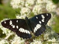 Limenitis reducta Le Sylvain azuré Blauwe ijsvogelvlinder