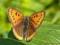 Lycaena dispar Le Cuivré des marais femelle Grote vuurvlinder vrouwtje