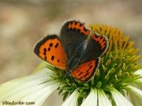 Lycaena phlaeas Le Cuivré commun Kleine vuurvlinder
