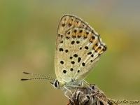 Lycaena tityrus feminine L'Argus myope femelle Bruine vuurvlinder vrouwtje