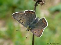 Lycaena tityrus masculine L'Argus myope mâle Bruine vuurvlinder mannetje