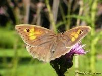 Maniola jurtina feminine Le Myrtil femelle Bruin zandoogje vrouwtje