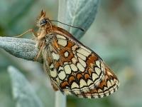 Melitaea athalia La Mélitée du mélampyre Bosparelmoervlinder