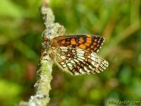Melitaea athalia ssp. celadussa La Mélitée du mélampyre Bosparelmoervlinder