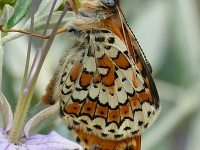 Melitaea cinxia La Mélitée du plantain Veldparelmoervlinder