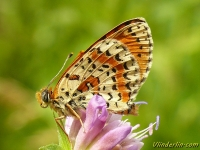 Melitaea didyma La Mélitée orangée Tweekleurige parelmoervlinder