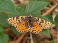 Melitaea didyma feminine La Mélitée orangée femelle Tweekleurige parelmoervlinder vrouwtje