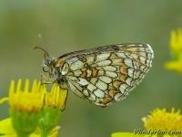 Melitaea parthenoides Le Mélitée des scabieuses Westelijke parelmoervlinder