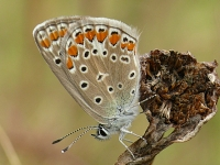Polyommatus icarus L'Azuré commun Icarusblauwtje