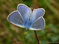 Polyommatus icarus masculine L'Azuré commun mâle  Icarusblauwtje mannetje