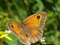 Pyronia tithonus L'Amaryllis femelle Oranje zandoogje vrouwtje