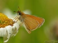 Thymelicus lineola L'Hespérie du dactyle Zwartsprietdikkopje