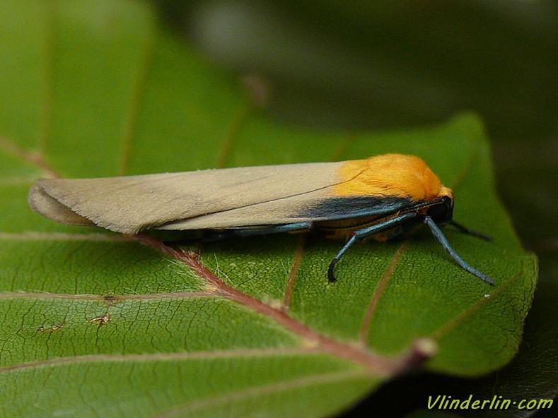 Papillons de nuit vlinderlin - Duree de vie papillon de nuit ...