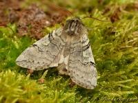 Achlya flavicornis Le Flavicorne Lente-orvlinder
