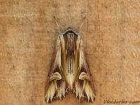 Actinotia polyodon La Camomilière Gevlamde uil